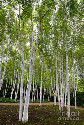Birch Trees Poster by Svetlana Sewell