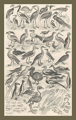 Ornithology Poster by Captn Brown