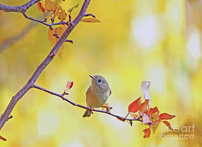 Ruby-crowned Kinglet Poster by Gary Wing
