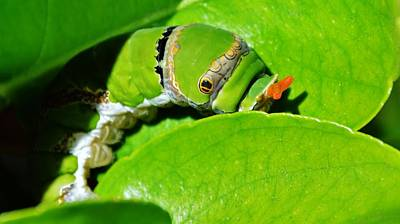 King Page Swallowtail  Caterpillar Poster by Werner Lehmann