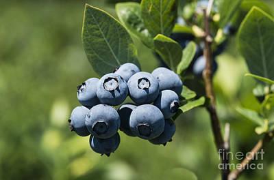 Blueberry Bush Poster by John Greim