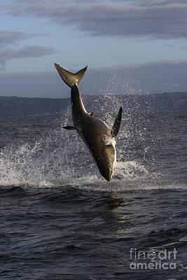 Great White Shark Poster by Jean-Louis Klein & Marie-Luce Hubert