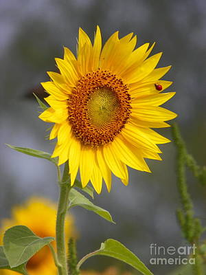 #933 D958 Best Of Friends Colby Farm Sunflowers Newbury Massachusetts Poster by Robin Lee Mccarthy Photography
