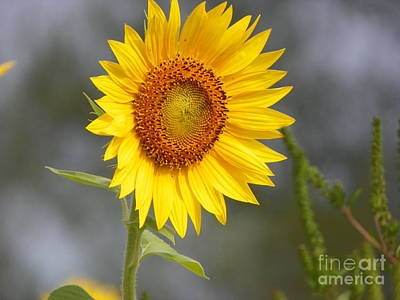 #933 D959 You Brighten My Day Colby Farm Sunflowers Newbury Massachusetts Poster by Robin Lee Mccarthy Photography