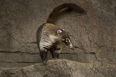 A Coatimundi At The Henry Doorly Zoo Poster by Joel Sartore