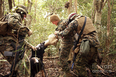 A Combat Tracking Dog Subdues A Mock Poster by Stocktrek Images