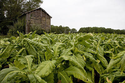 A Field Of Maturing Tobacco Leaves Poster by Stephen St. John