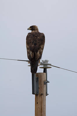 A Golden Eagle Sits On Top Of A Power Poster by Joel Sartore