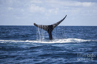 A Humpback Whale Raises Its Tail Poster by Ethan Daniels