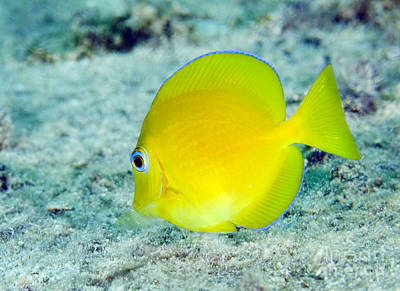 A Juvenile Blue Tang Searching Poster by Terry Moore