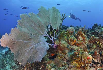 A Large Purple Sea Fan On Caribbean Poster by Karen Doody