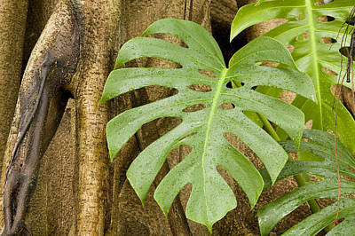 A Philodendron Grows On The Side Poster by Tim Laman