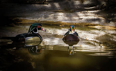 A Quiet Retreat - Wood Ducks Poster by TL Mair