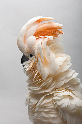 A Salmon-crested Cockatoo Poster by Joel Sartore