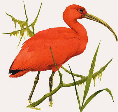 A Scarlet Ibis From South America Poster by Kenneth Lilly