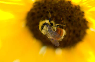 A Sunflower And Bumble Bee In Eastern Poster by Joel Sartore