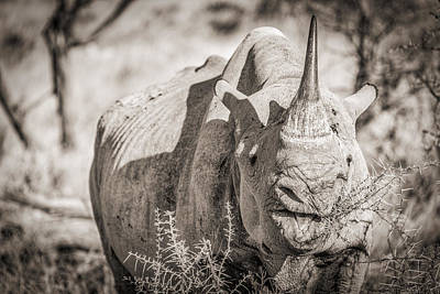 A Tasty Thornbush - Black And White Rhinoceros Photograph Poster by Duane Miller