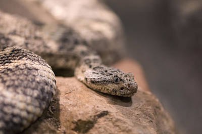 A Tiger Rattlesnake At The Henry Doorly Poster by Joel Sartore