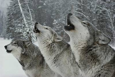 A Trio Of Gray Wolves, Canis Lupus Poster by Jim And Jamie Dutcher