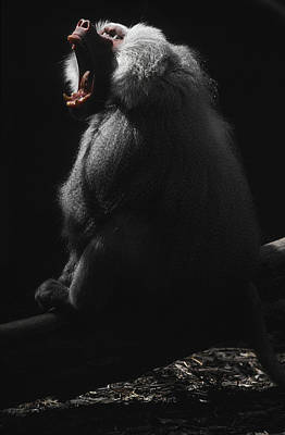 A Virile Male Sacred Baboon Roars Poster by Jason Edwards