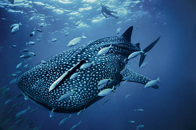 A Whale Shark Poster by Brian J. Skerry