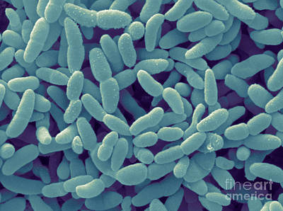 Acetobacter Aceti Bacteria Poster by Scimat