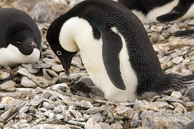 Adelie Penguin With Chick Poster by Karen Foley