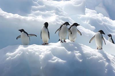 Adelie Penguins Lined Up On An Iceberg Poster by Tom Murphy