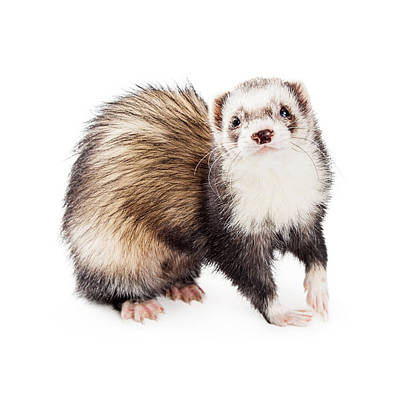 Adorable Pet Ferret Looking Into Camera Poster by Susan Schmitz