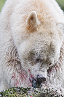Adult Kermode Bear With Salmon Poster by Melody Watson