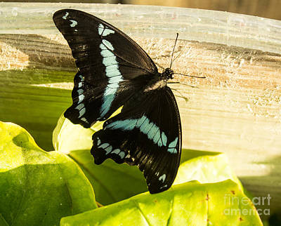 African Blue-banded Butterfly Poster by Steven Parker