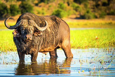 African Buffalo Poster by Tim Hester