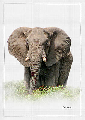 African Elephant On A White Background Poster by Ronel Broderick