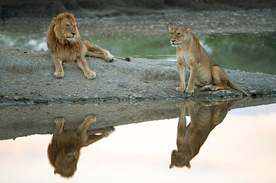 African Lion And Lioness Panthera Leo Poster by Panoramic Images