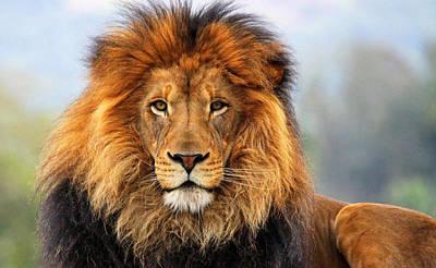 African Lion Poster by Ellen Henneke