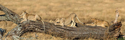 African Lions Panthera Leo Sitting Poster by Panoramic Images