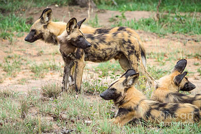 African Wild Dogs Poster by Juergen Klust