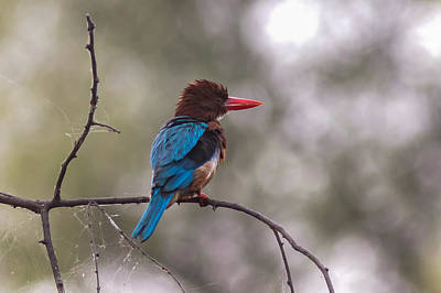 After The Dive - White-throated Kingfisher Poster by Ramabhadran Thirupattur
