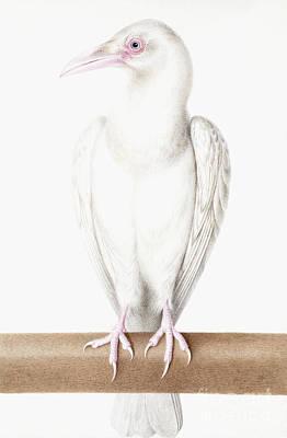 Albino Crow Poster by Nicolas Robert