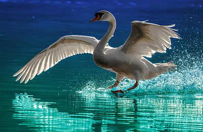 Alighting Swan 2 Poster by Brian Stevens