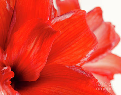Amaryllis Fade Red Amaryllis Flower Subtly Fading Into A White Background Poster by Andy Smy