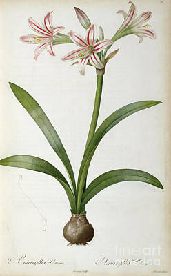 Amaryllis Vittata Poster by Pierre Redoute