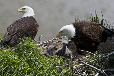 American Bald Eagles, Haliaeetus Poster by Roy Toft