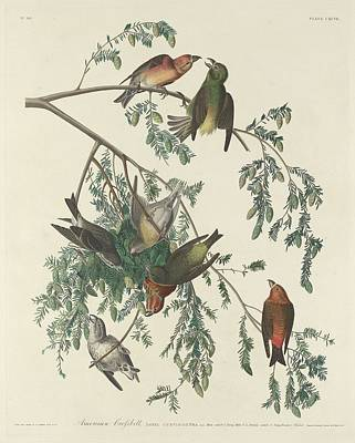 American Crossbill Poster by John James Audubon