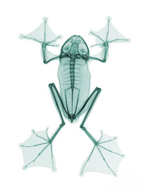 An X-ray Of A Flying Frog Poster by Ted Kinsman
