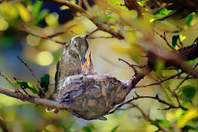 Anna's Hummingbirds 2 - Nest Poster by Nikolyn McDonald