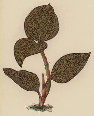 Anoectochilus Setaceus, Aurea Poster by English School
