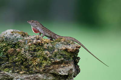 Anole Atop A Rock 2 Poster by Lynda Dawson-Youngclaus