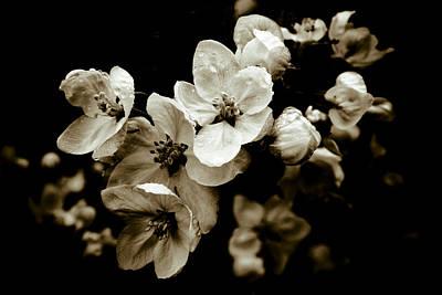 Apple Blossom Poster by Frank Tschakert