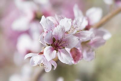 Apple Blossoms Poster by Saija  Lehtonen